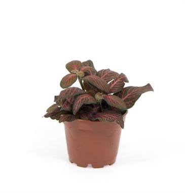 Mini fittonia verschaffel a vendre