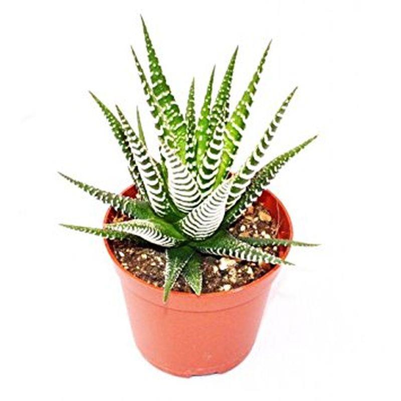 Mini haworthia fasciata a vendre
