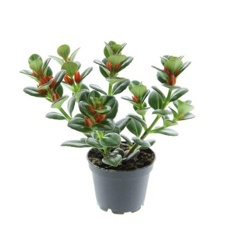 Mini nematanthus gregarius a vendre