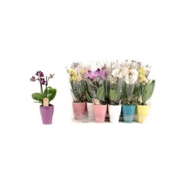 Mini orchidee fleurie cadeau saint valentin mariage bureau
