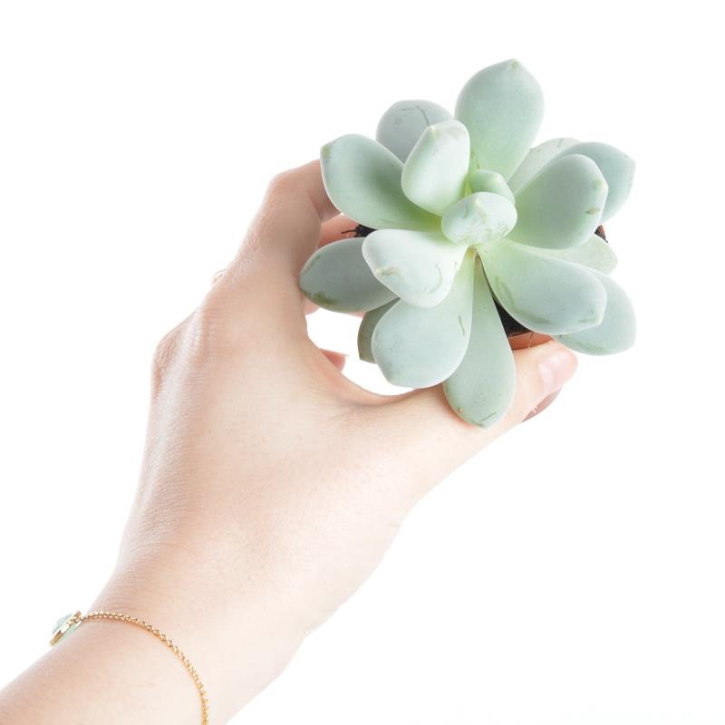 Mini pachyphytum compactum a vendre