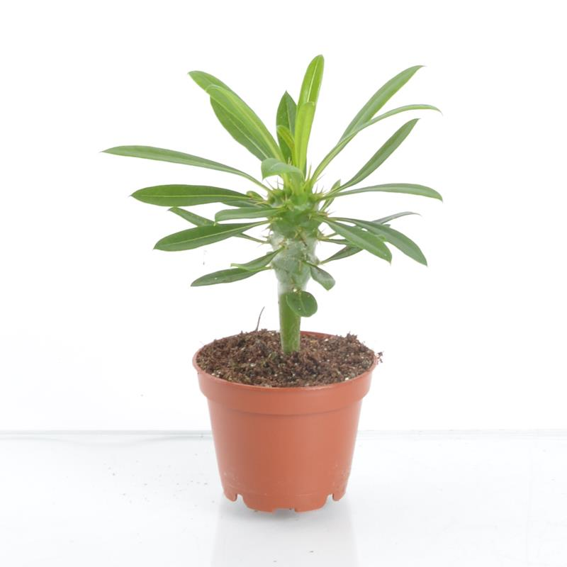 Mini pachypodium lamerei a vendre