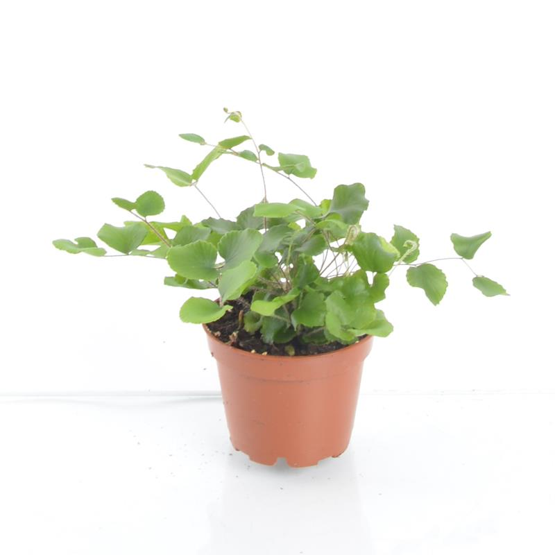 Mini pellaea rotundifolia a vendre