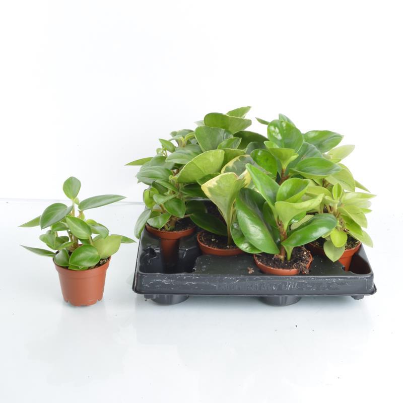 Mini peperomia obtusifolia a vendre