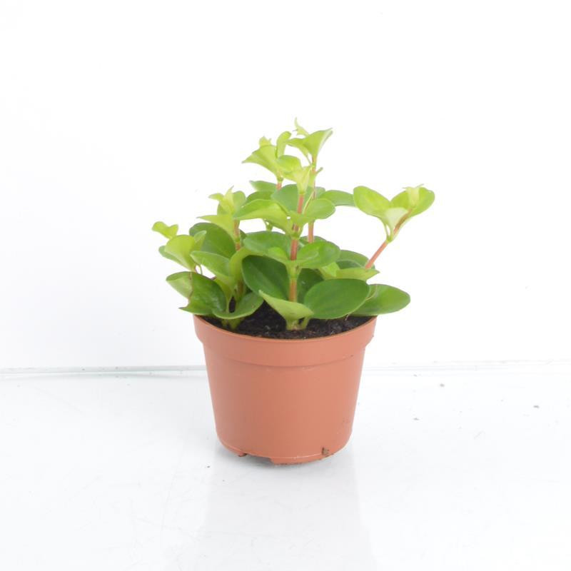 Mini peperomia rotundifolia a vendre
