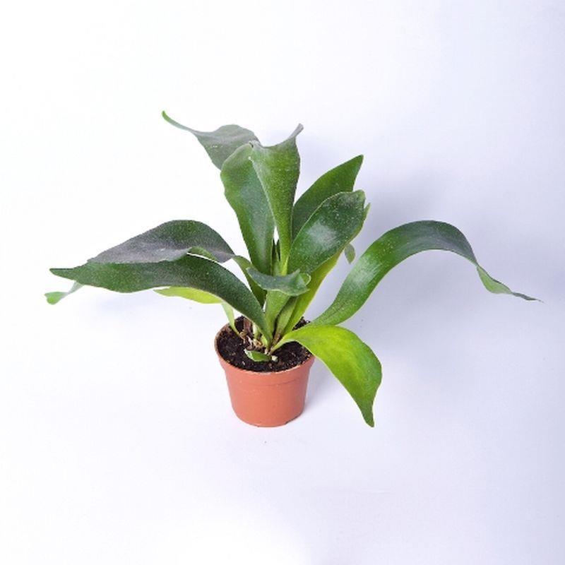 Mini platycerium bifurcatum a vendre