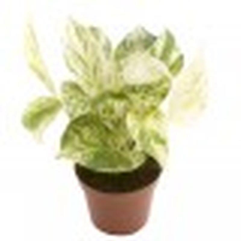 Mini scindapsus aureus marble queen a vendre