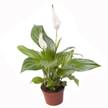 Mini spathiphyllum wallisii a vendre