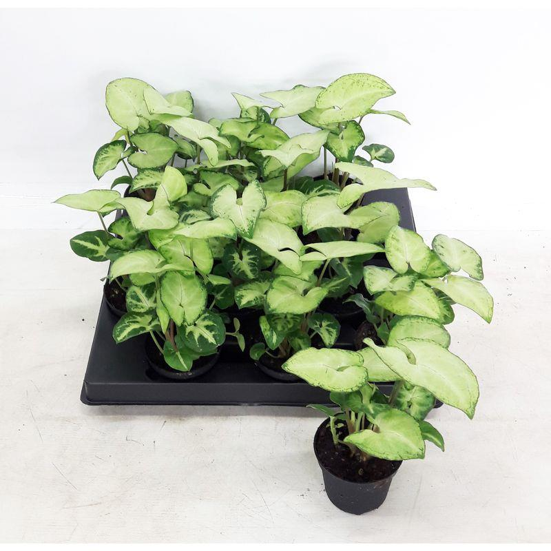 Mini syngonium podophyllum a vendre