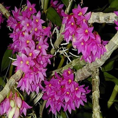 Orchidée Dendrobium miyakei