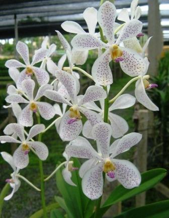 Orchidee Mokara Jairak white