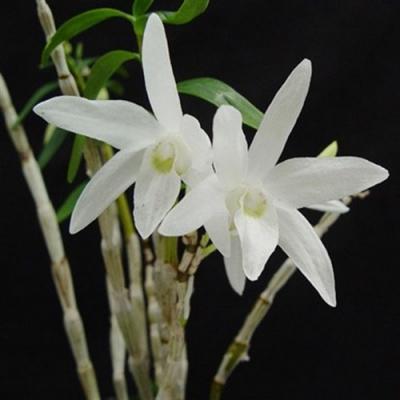 Orchidea Dendrobium moniliforme