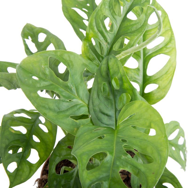 Monstera obliqua acheter planter