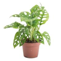 Monstera obliqua livraison plante verte