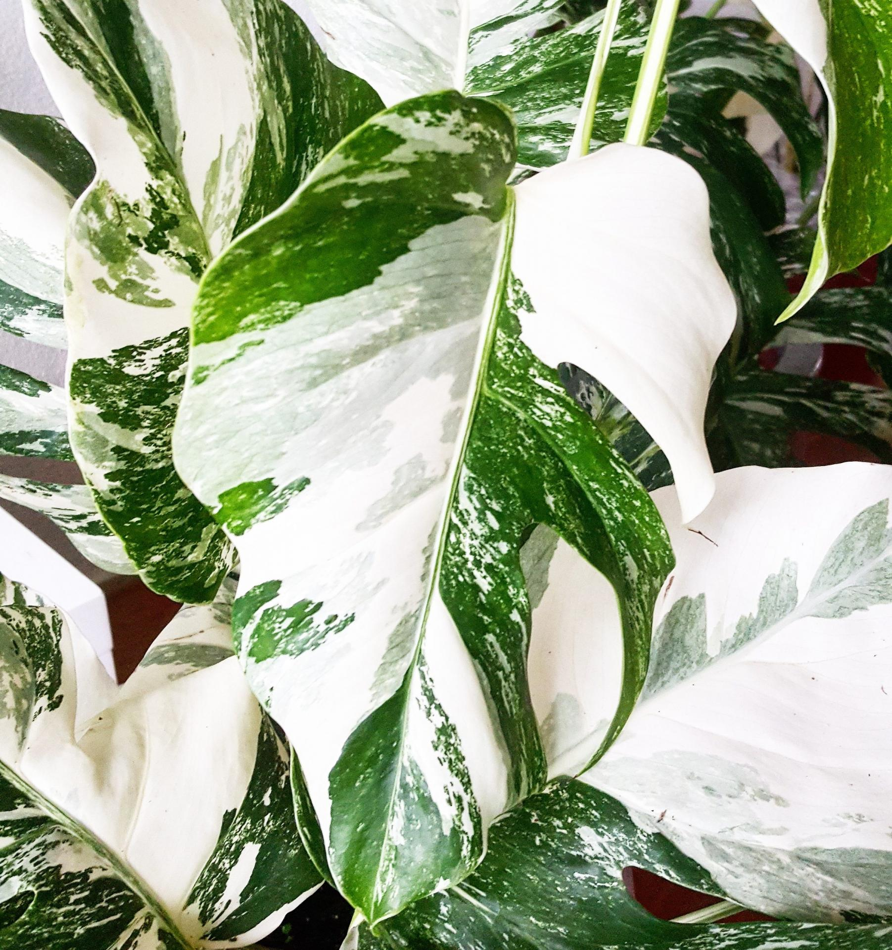 Monstera variegata variegated panache monstera mania philodendron plante rare blanche full white exotique paris france pays bas belgique 108 scaled