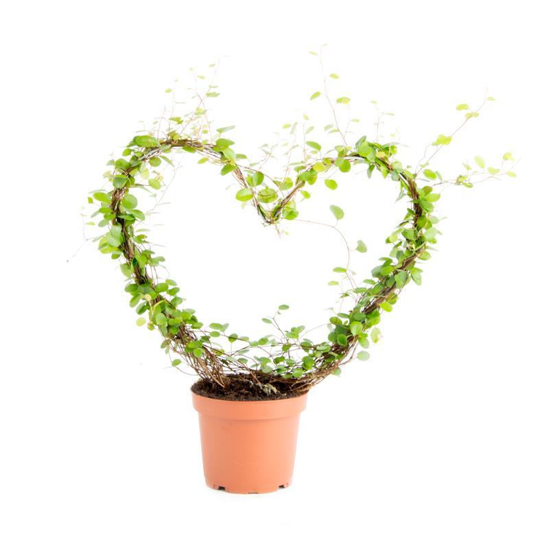 Muehlenbeckia complexa forme coeur a vendre