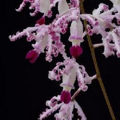 Orquídea Myrmecophila exaltata