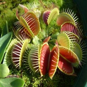 National gardens 5 venus flytrap seeds dionaea muscipula original imaejma5ag6g3kxh
