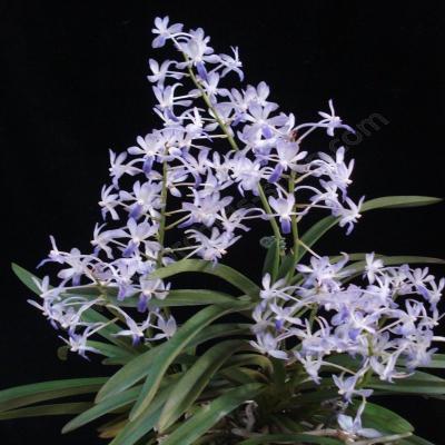 Orchidee Neofinetia falcata