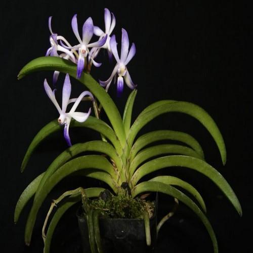 Orquídea Neostylis lou sneary
