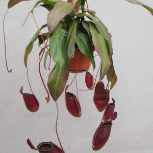 Nepenthes dark secret