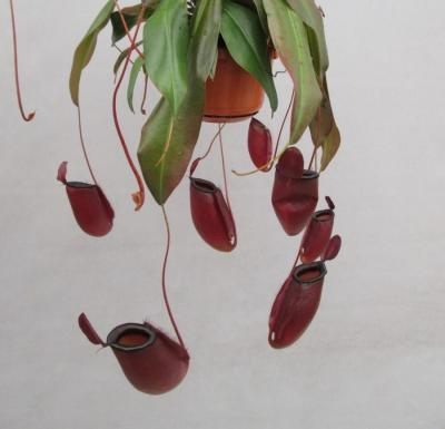 Nepenthes dark secret 1