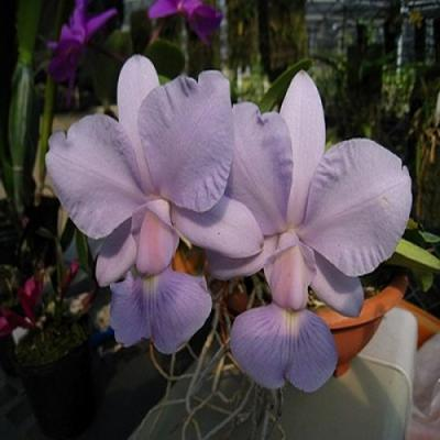 Orchidée Cattleya nobilior var. coerulea