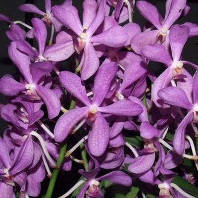 Orchidée Aranda noorah alsagoff blue