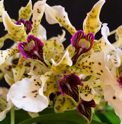 Orchid Dendrobium normanbyense