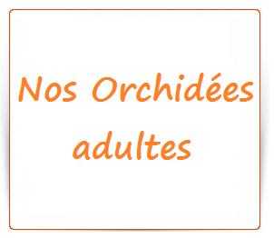 Nos orchidees adultes en precommande