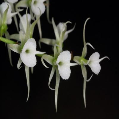 Orchidée Oeoniella polystachys