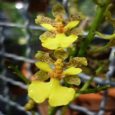 Orchidée Oerstedella cebolleta