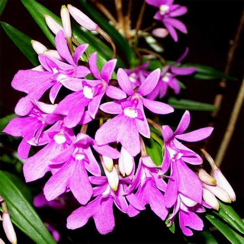 Orquídea Oerstedella centradenia