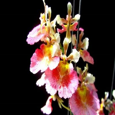 Orchidée Tolumnia jairak Flyer Watermelon