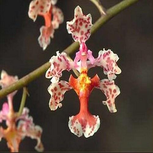 Orquídea Oncidium carthagenense