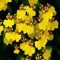 Oncidium fleurie