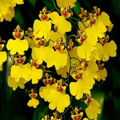 Orchidea Oncidium munsterland stern
