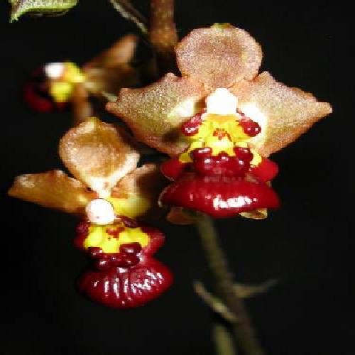 Orquídea Oncidium lindenii