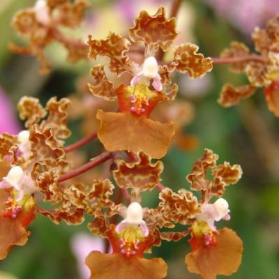 Oncidium luridum orchidee vente achat fleur buy