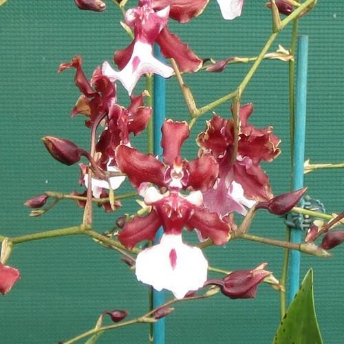 Orquídea Oncidium sweet fragrance