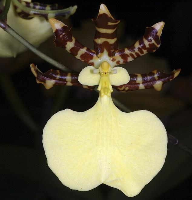 Orquídea Oncidium tigrinum
