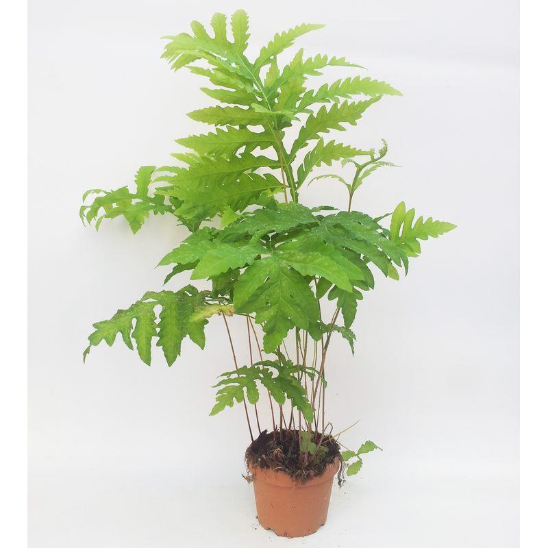 Onoclea sensibilis a vendre
