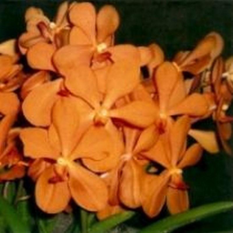 Oomyai orange