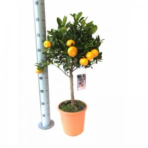 Orange citrofortunella calamondin on stem in 21cm x 70cm pot pol0001586