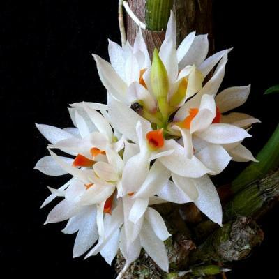 Orchidee Dendrobium bracteosum