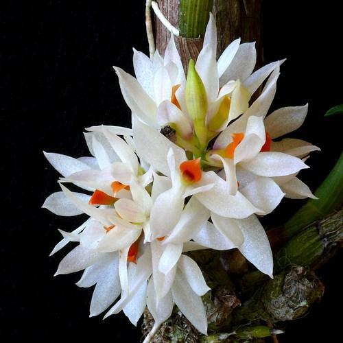 Orquídea Dendrobium bracteosum