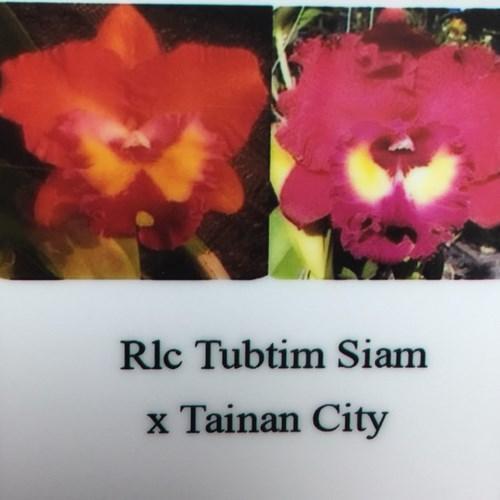 Orchidea Cattleya Rlc Tubtim Siam x Tainan City