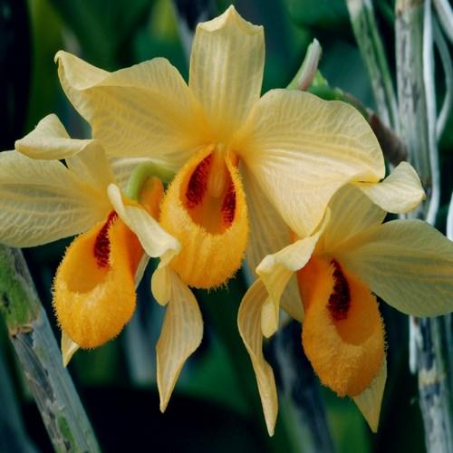 Orchid dendrobium moschatum