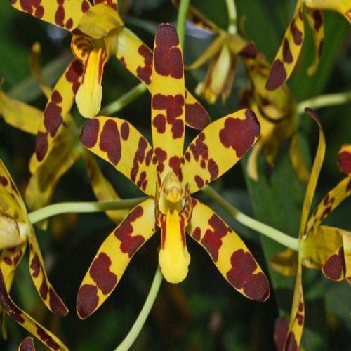 Orchidaceae ansellia africana