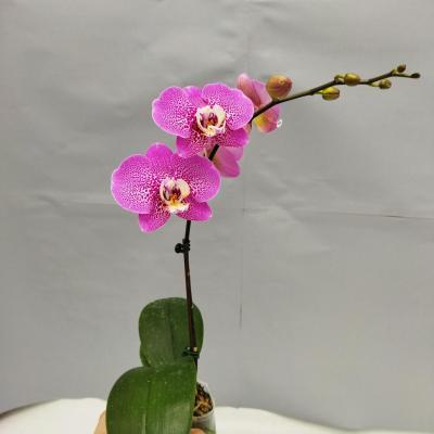 Phalaenopsis Léopard Rose (Ø9cm)